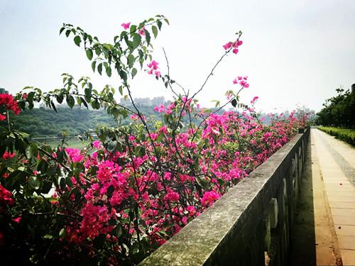 泸州三角梅风景图片