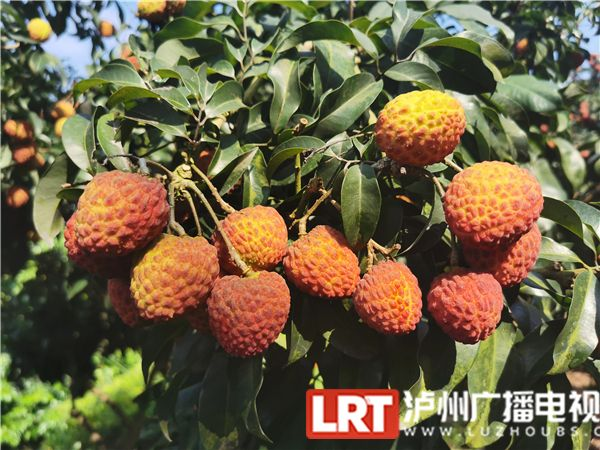 合江这家取得国家有机食品认证的荔枝上市啦