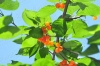 樱桃杨梅里的虫子可吃?营养专家:果蝇对人体无害