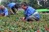 以一串红、孔雀草等为主 50万余株鲜花装扮泸州城