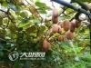 今年底  古蔺东新镇力争发展万亩猕猴桃