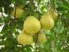 泸州合江真龙柚即将大量上市 果农即将进入收获季