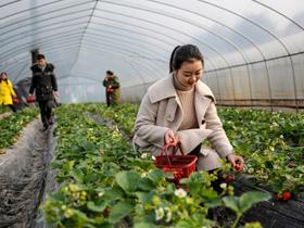 泸州:草莓熟了  醉了游客