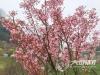 花开正当时 泸州樱花经济热销带火乡村旅游