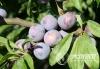 来自北纬28度的味觉奇迹 泸州古蔺脆红李迎来丰收季