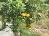 泸州尧坝:一年好景君须记 最是橙黄橘绿时