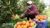 泸州:政府牵线  十万斤滞销甜橙被郎酒豪气包圆