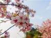 防疫不掩芳华……泸州这里的樱花开好了!