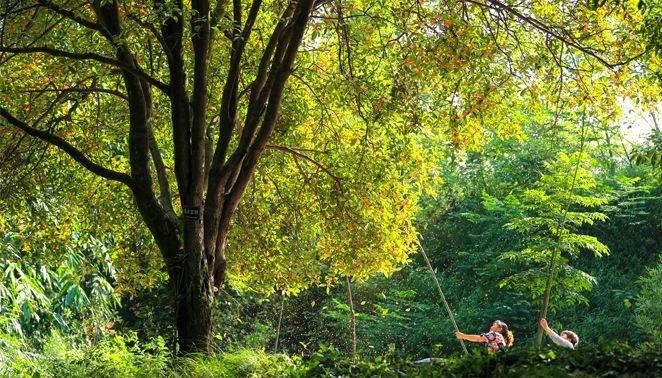 泸州林间下起飘香桂花雨