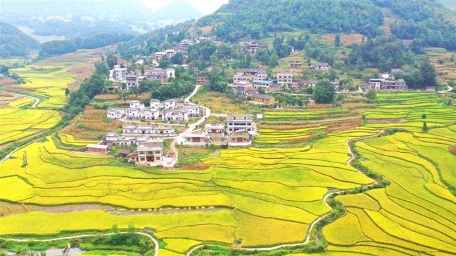 古藺:千畝稻田金燦燦,農戶揮鐮慶豐收