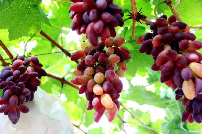 """夏""""甜""""到了 葡萄熟了"""